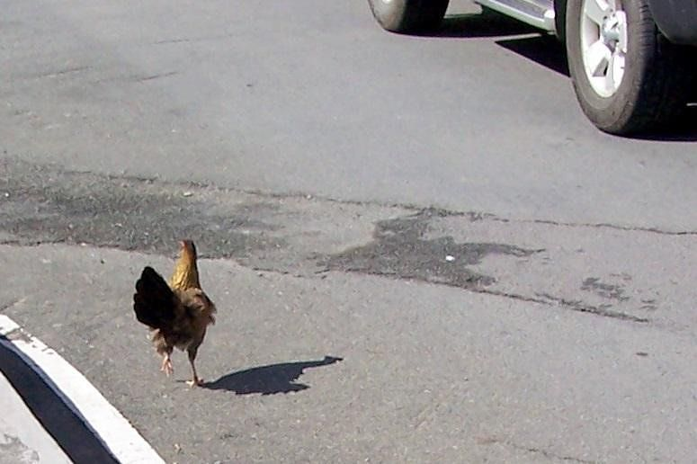Chicken trying to cross the road