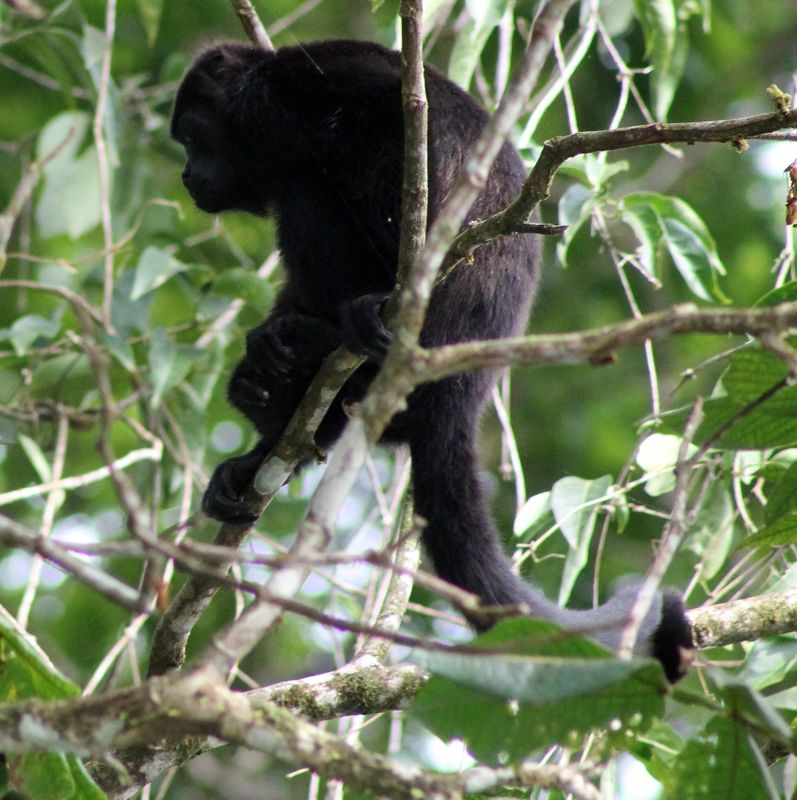 Howler monkey in 2008