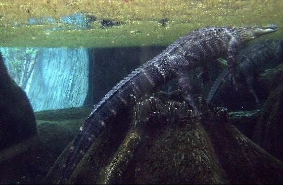 Underwater view of an alligator