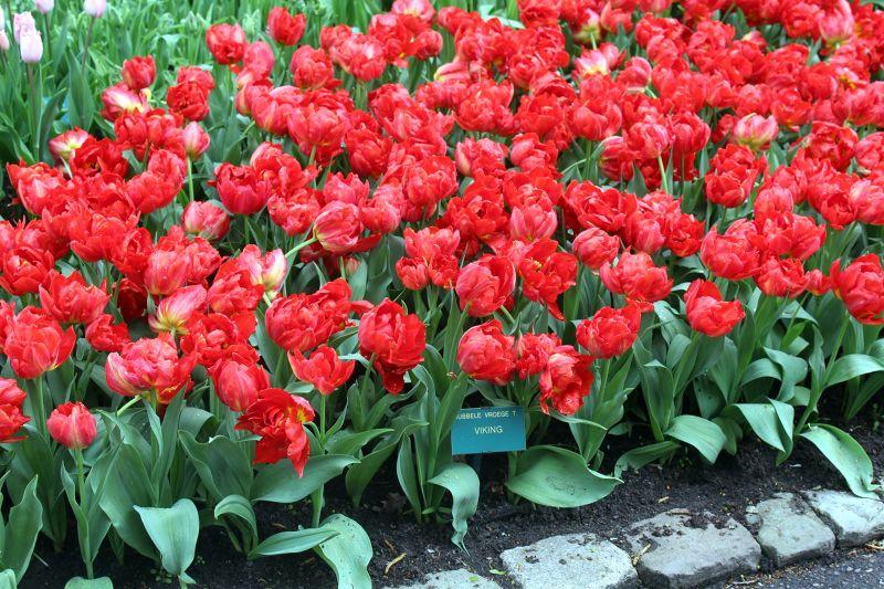 Bed of red tulips - Keukenhof