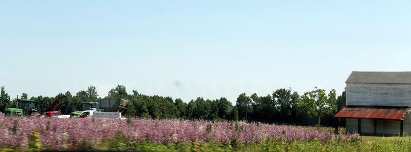Purple flowers in the fields