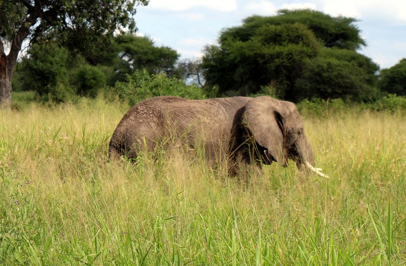 Elephant in tall grass
