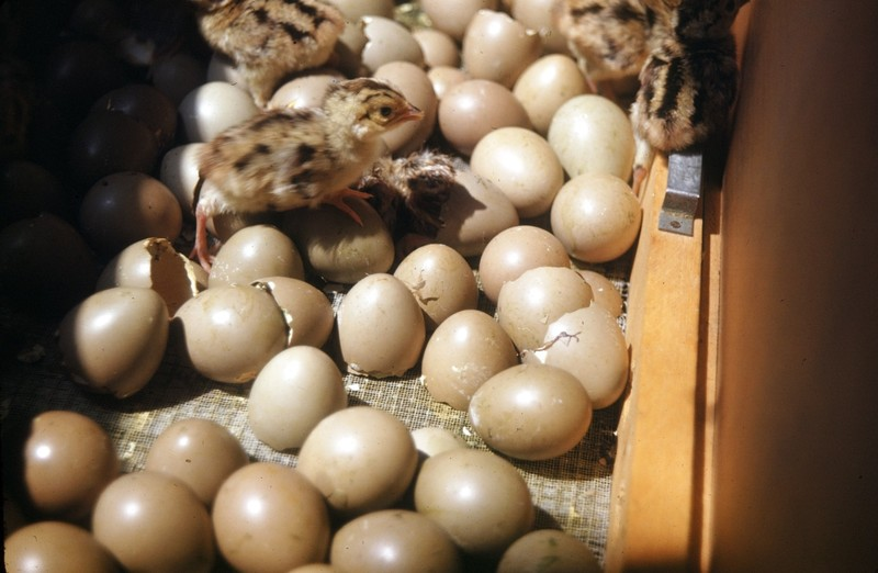 Eggs hatching