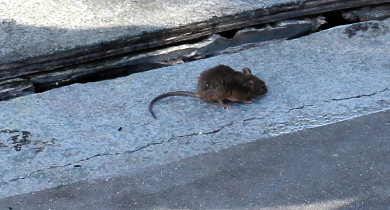 dying mouse