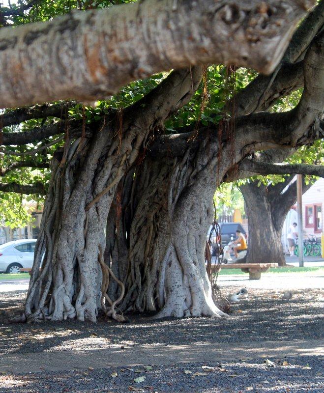 A Banyan tree for shade