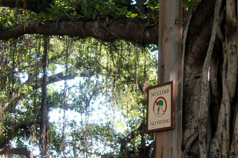 No Climb, No Swing Banyan Tree