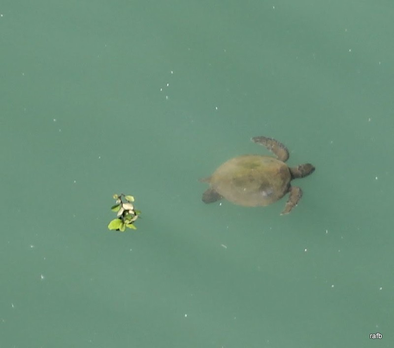 Sea turtle from the deck