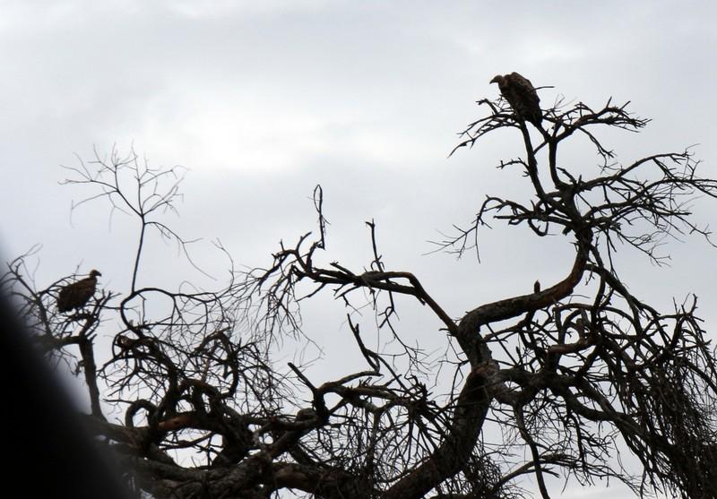 my vulture photo