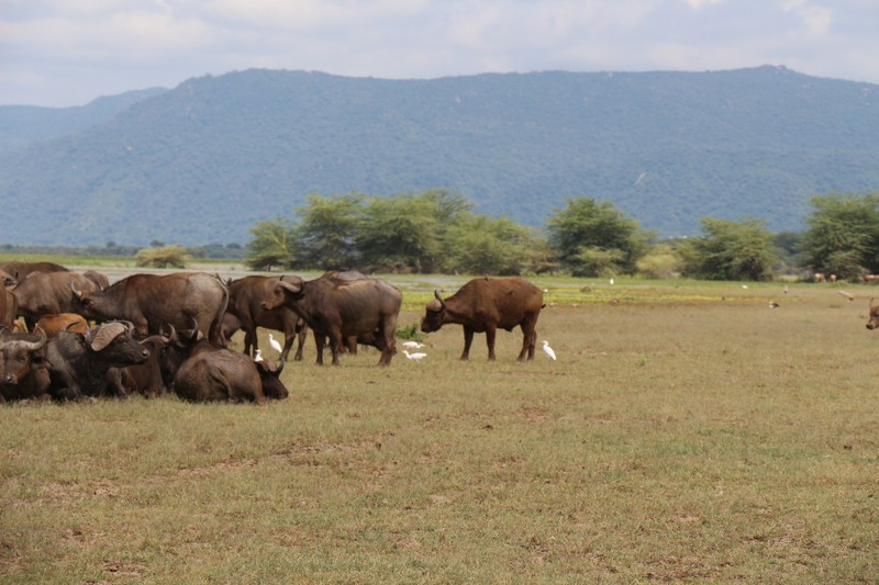 Buffalo herds