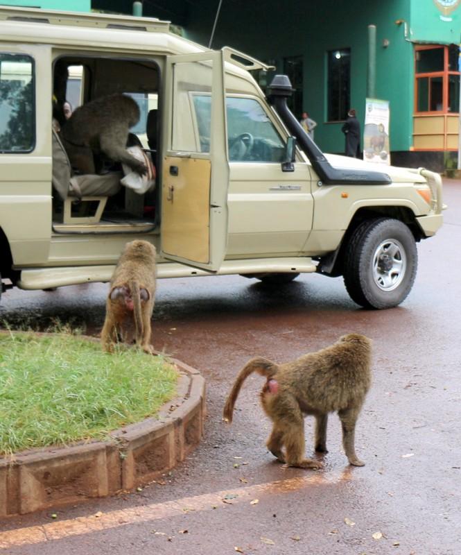 Baboon Bandits