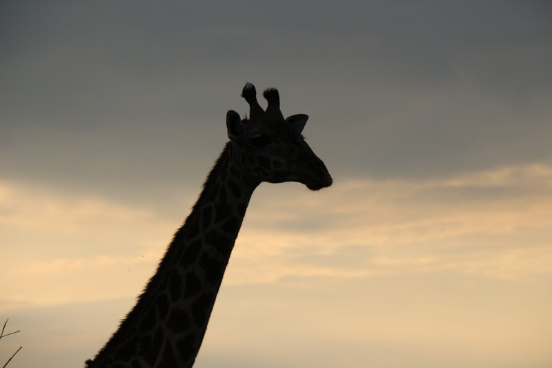 Giraffe at dusk