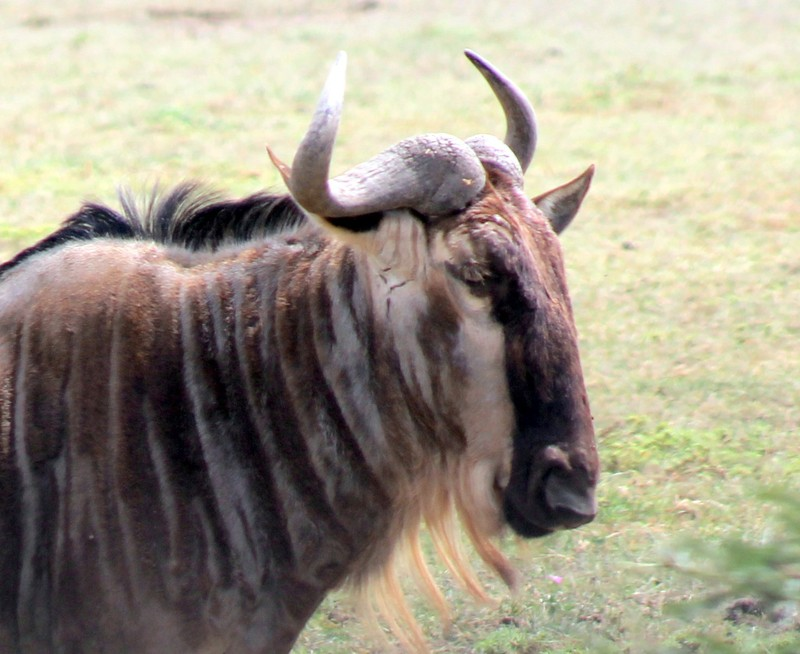 The beard of the gnu