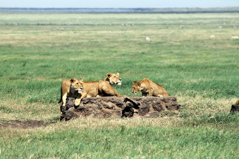 Lions hanging out