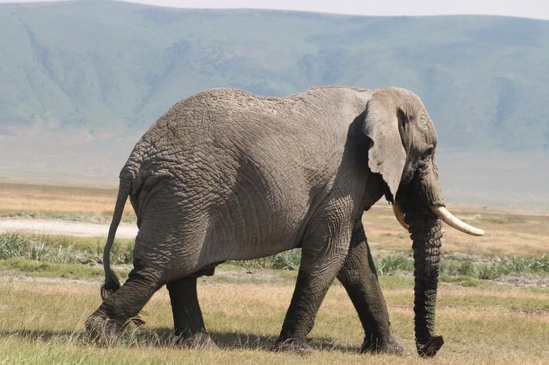 Old bull elephant like Babar