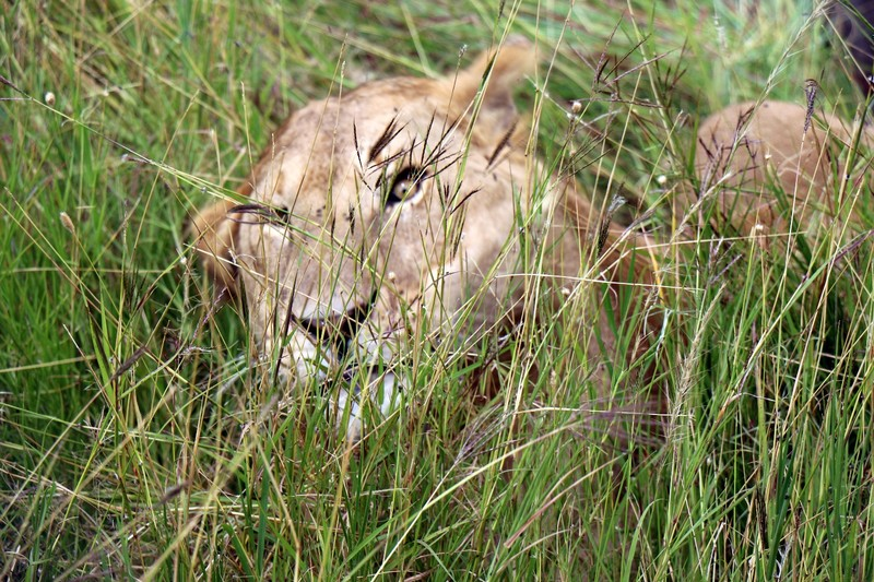Young male lion in the grass