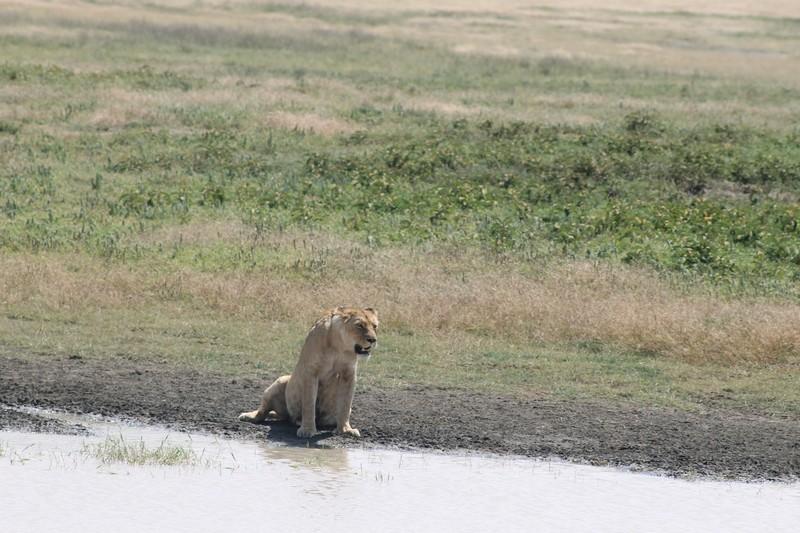 Panting lioness