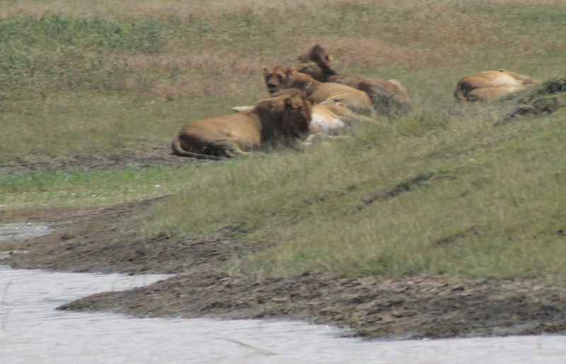 Group of lions with a kill?