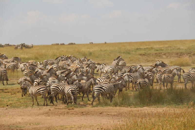 Zebra herds