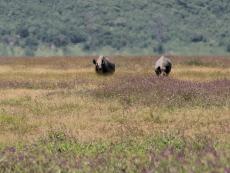 Two black rhino in the distance
