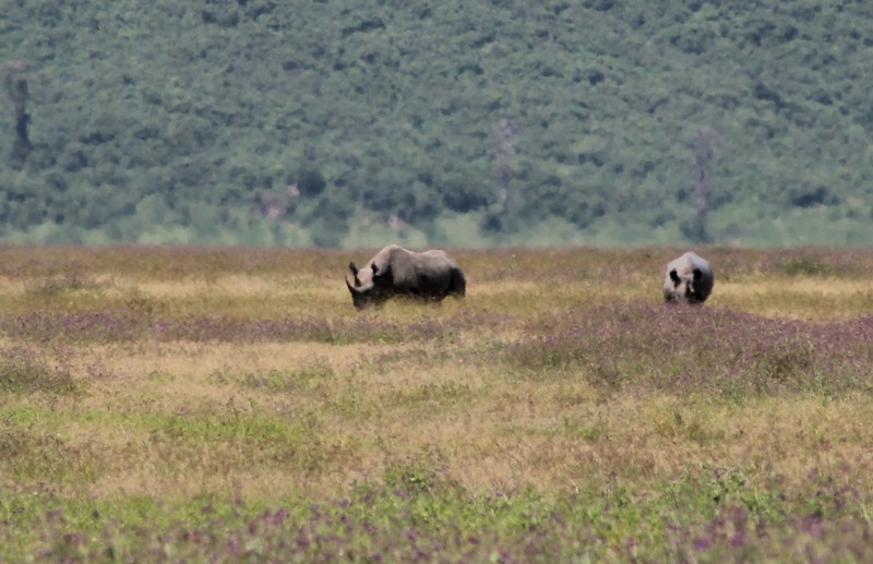 Mother and child black rhinos