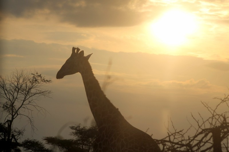 Giraffe in the afternoon