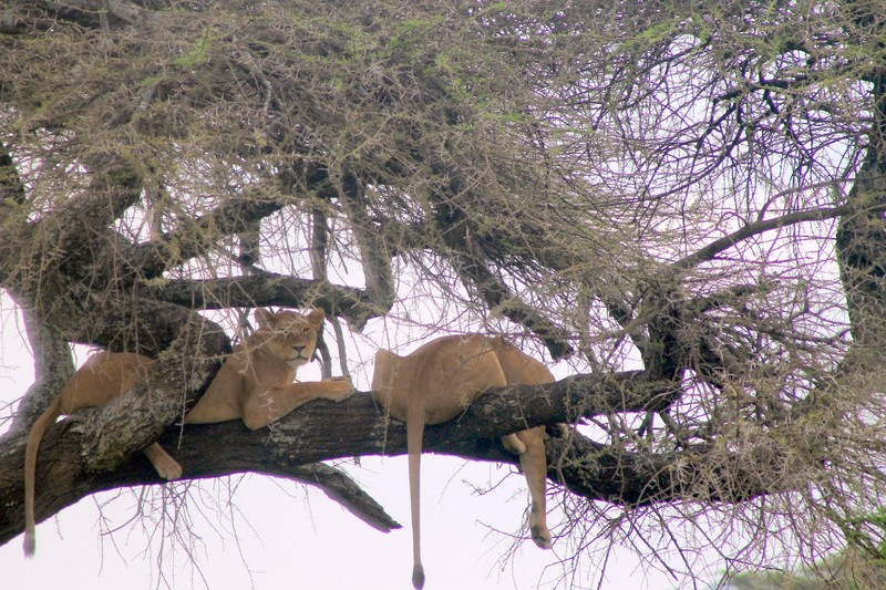Lions in a tree