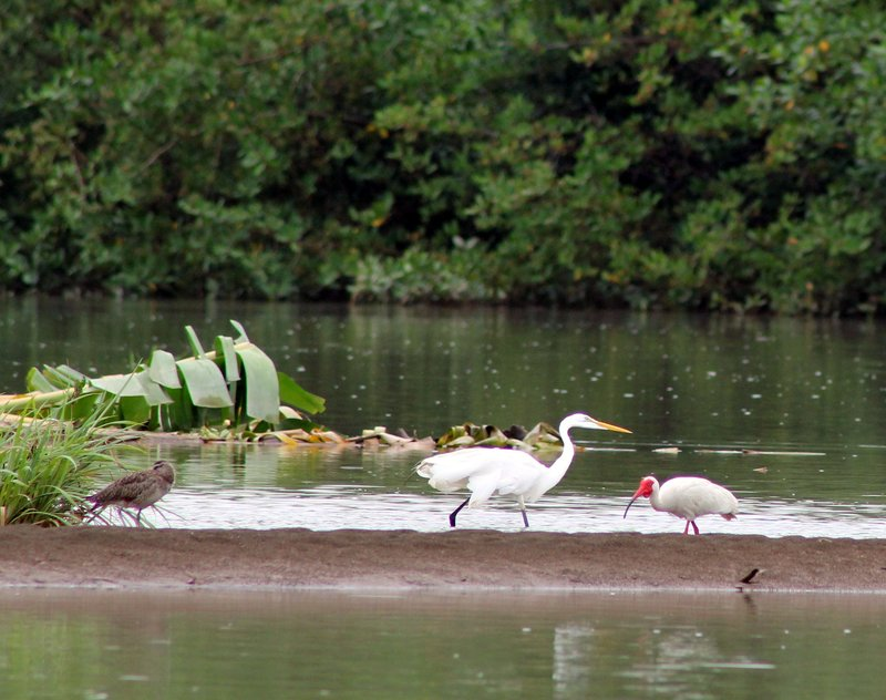 Red faced Ibis and Great White Heron