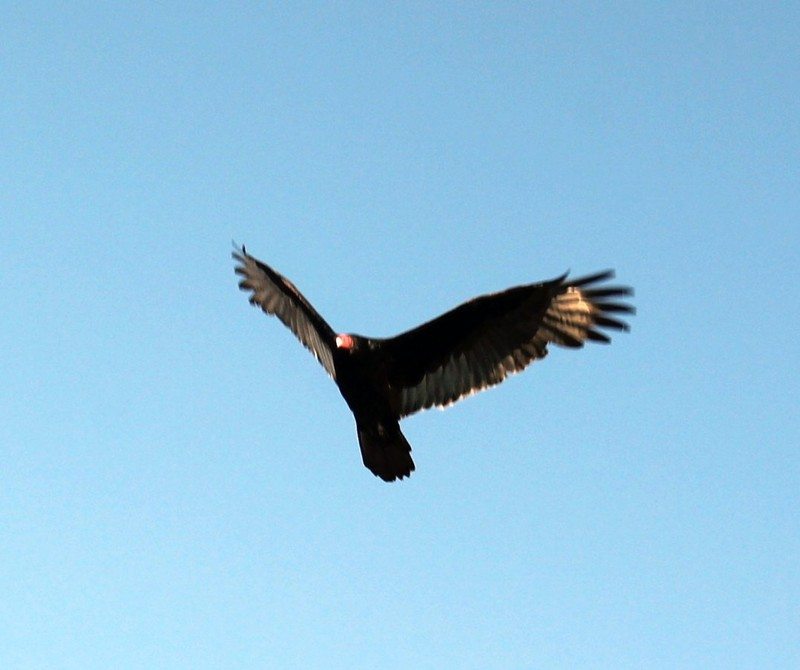 Vulture flying over the ferry
