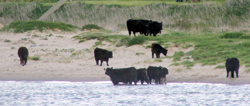 cows in th water