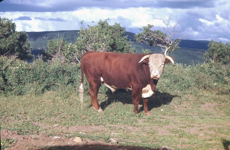 Bull near Nucla