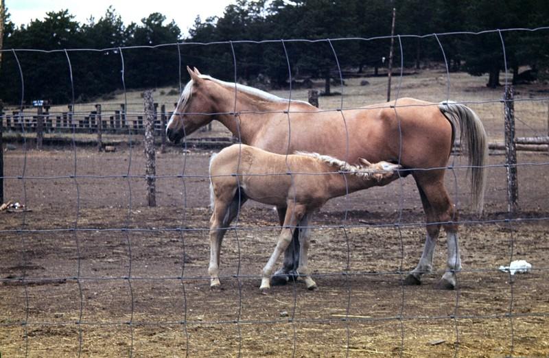 Palomino with a palomino foal