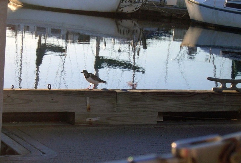 Plovers on the docks at 7:45