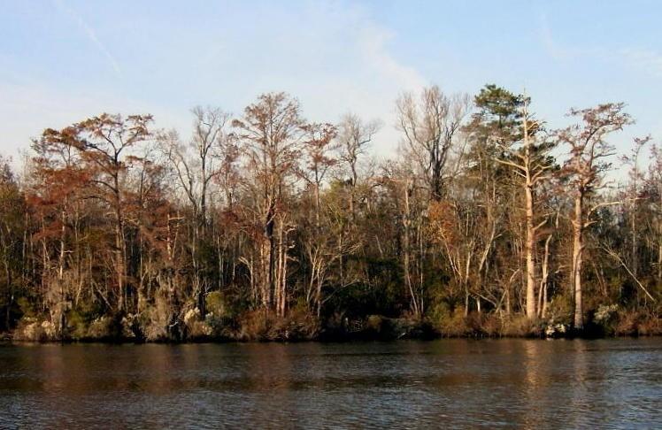Pasquotank River with bald cypress