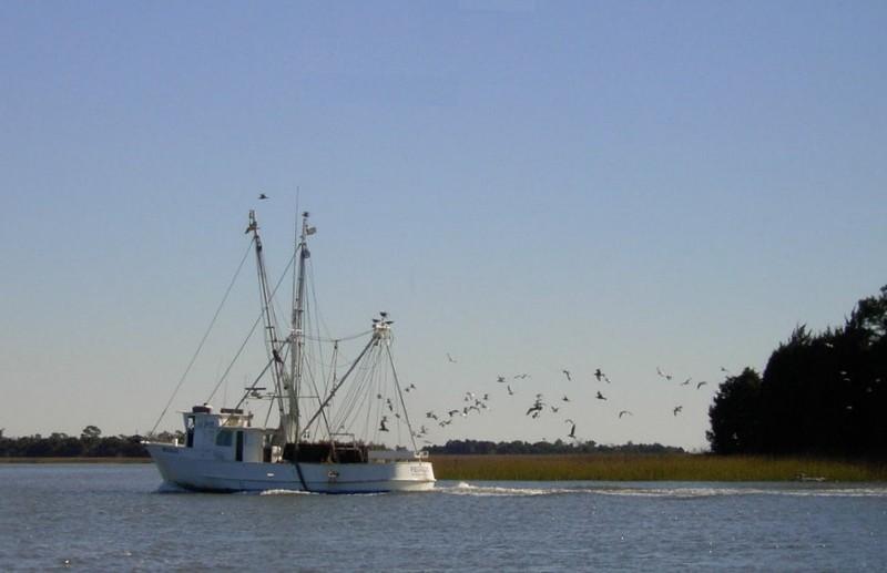 Birds following a shrimp boat