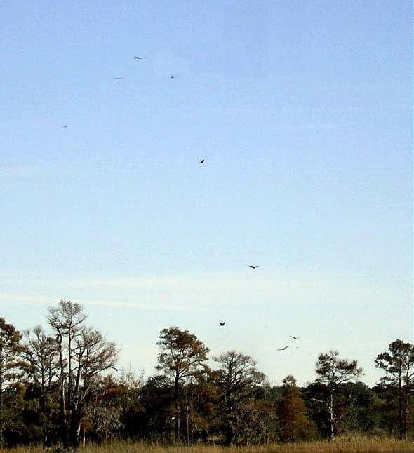 Buzzards being blown around by the wind