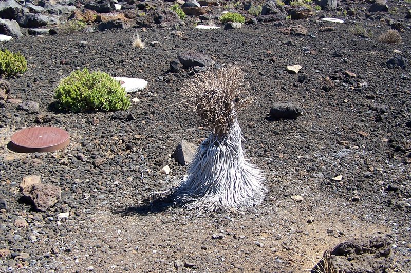 Silversword that has flowered