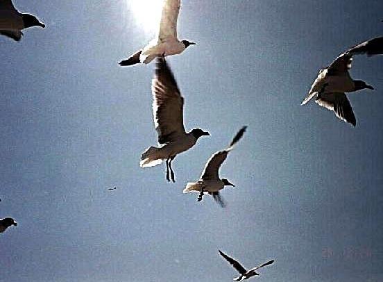 Gulls_following_ferry_looking_for_handout