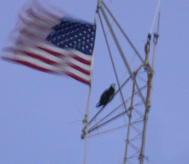 Osprey on the Communications tower with a flag at duck