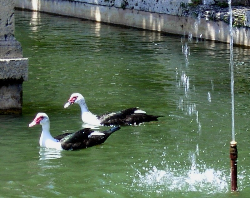 Muscovy ducks in the Canal