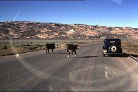 Cows crossing the road - Teec Nos Pos