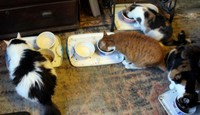 Cats eating - Crunch, Orange and Hidey