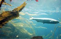 Fish and Kelp - Seattle