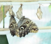 Blue morpho butterflies