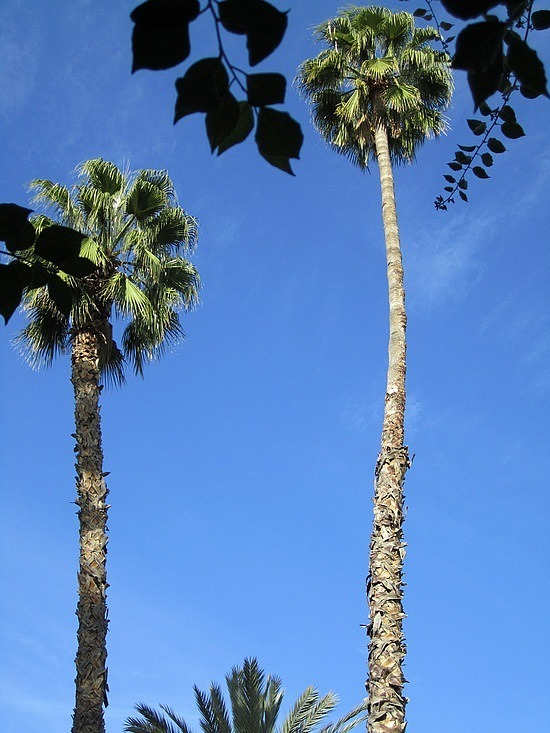 Incredibly tall palm trees