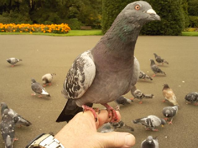 Glasgow Botanic Gardens a pigeon feeding session......