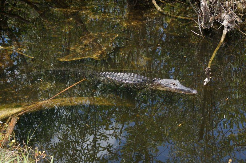 Shark Valley, Everglades. Alligator