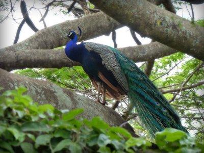 021117_16_..ary_peacock.jpg