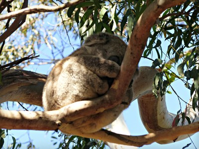 The koala moved a tiny bit - really!