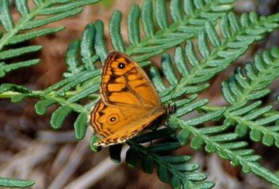 Unidentified butterfly