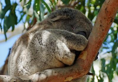 Dozy koala at Bimbi Park